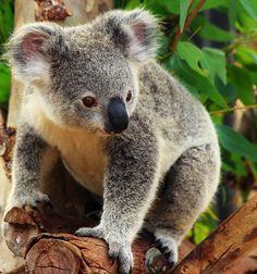 Koala ID by Celem.deviantart.com on @deviantART