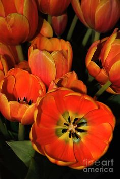 ✯ Tulips Of Fire - would love to have some of these at the wedding, but not sure they bloom in fall :(