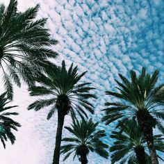 ☁️ — Buttermilk skies and beautifully spread palm trees.