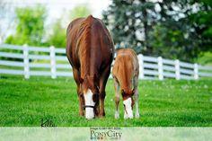 AQHA Quarter Horse for Sale on www.PonyCity.com