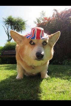 A Tip of the Pembroke Welsh Corgi Hat to the British Isles Corgi Dog, Corgi Funny, Funny Pets, Funny Corgi Pictures, Pet Costumes For Dogs, Funny Animals, Cute Animals, Pet Sweaters, Pembroke Welsh Corgi