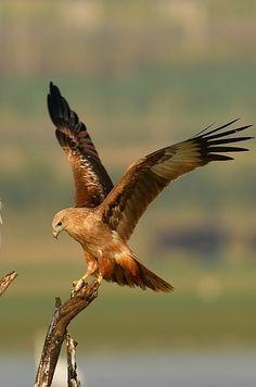 Brahminy Kite with its catch !!