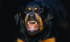 Les gens ne sont pas seulement tués par de grands chiens. Des gens ont été tués par des Beagles, Teckels, et même des Loulous. Si vous avez déjà vu un Poméranien,  vous avez probablement du mal à imaginer que cette race peut tuer, mais c'est arrivé. Tout chien peut devenir agressif, comme tout chi...