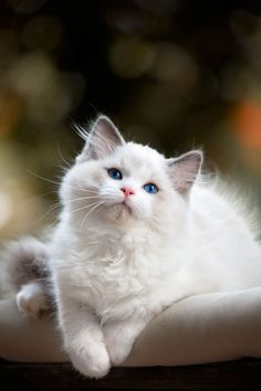 Lovely White Kitty from heaven-ly-mind: My love