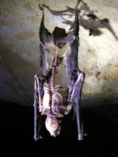 A dead bat still hanging from the cave ceiling.