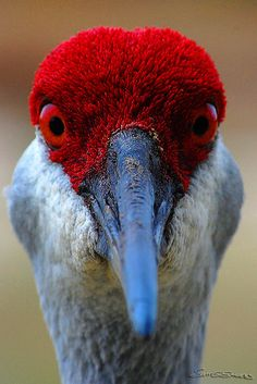 Sandhill Crane  Grus canadensis  Common winter resident