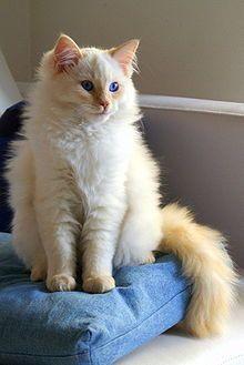 Flame point Ragdoll. - #catbreeds - More Ragdoll Cats Breeds at Catsincare.com! #ragdollcatcolors