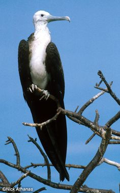 Magnificent Frigatebird - Fregata magnificens We saw these in the Seychelles, they are truly magnificent
