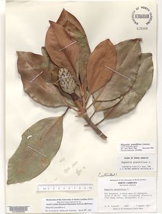 Magnolia_grandiflora,Resources for Botanical Sketchbooks, , Resources for Art Students at CAPI::: Create Art Portfolio Ideas milliande.com, Art School Portfolio Work, , Botanical, Flowers, Plants, Leaves,Stem Seed, Sketching, Herbarium