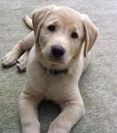 Ruger the Labrador Retriever