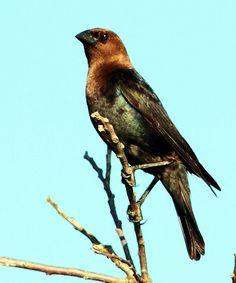 Male Brown-headed Cowbird in Oklahoma