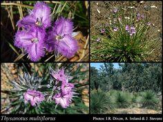 Fringe Lily - Thysantsos multiflorus - Caespitose perennial, herb, 0.1-0.5(-0.8) m high. Fl. purple, Aug to Dec or Jan. Sand, laterite, granite.