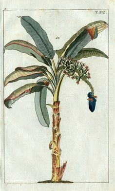 Wilhelm Natural History Botanical Prints 1810  Palm