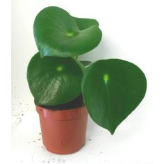Peperomia polybotrya (Coin Leaf Plant)