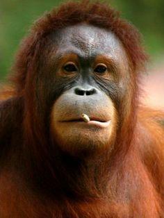 Tori, a five-year-old male Orangutan, smokes a cigarette at the Taru Jurug Zoo in Solo,