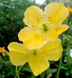 Yellow Poppies - for Margo by JocelyneR on DeviantArt