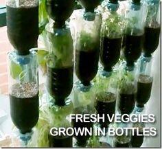 Vegetables growing in plastic bottles