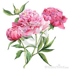 Pink Peonies Botanical Watercolor Illustration - Download From Over 28 Million High Quality Stock Photos, Images, Vectors. Sign up for FREE today. Image: 45581519