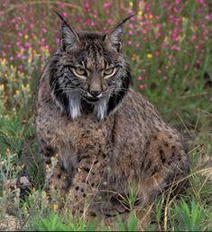 Lince Ibérico (Lynx pardinus), Animal en Peligro de Extinción