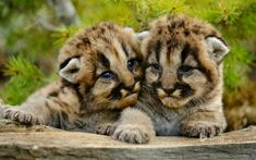 Mountain Lion Cubs Wallpaper Baby Animals Animals Wallpapers) – Wallpapers For Desktop Cubs Wallpaper, Animal Wallpaper, Wallpaper Ideas, Photo Wallpaper, Beautiful Cats, Animals Beautiful, Cute Baby Animals, Animals And Pets, Montana