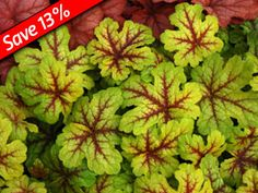 """Heucherella  Alabama Sunrise        Deeply lobed & colorful foliage      Looks great for over 9 months      Trouble-free ground cover      Thrives in heat & humidity    Zone 4,5,6,7,8,9 Blooms Early summer  12"""" x 10""""  Colorful shade perennial for heat & humidity!  Shade perennial groundcover with 9 months of color!"""
