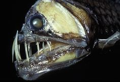 VIPERFISH True to its appearance, the viperfish is a fierce deep-sea predator that uses a bioluminescent bait, dangling from its back, to lure its prey — usually crustaceans and other small fish. The tiny fish can live up to 20 to 40 years, but it cannot survive in captivity.