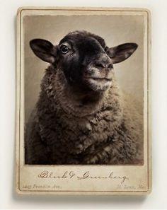 sheep: portrait