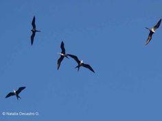 Magnificent Frigatebird | Bird Watching Panama | Tranquilo Bay Eco Adventure Lodge | Birds