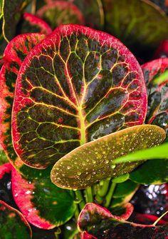 (Croton Red Apple)