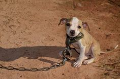 Pit bull puppy attached to big HEAVY chain - 10 weeks old and planned to be used in dog fighting ring that took in several states. THANK GOD for their rescue by ASPCA Rescue Dogs, Animal Rescue, Animal Testing, Massive Dogs, Mon Combat, Stop Animal Cruelty, Dog Fighting, Little Puppies, Pit Bulls