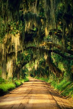 This is the famous avenue of Boone Hall Plantation; it's nearly a mile long and is lined by about 90 oaks hanging with Spanish moss.