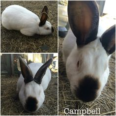 Campbell my sweet yet shy Californian Buck. Meat Rabbit.