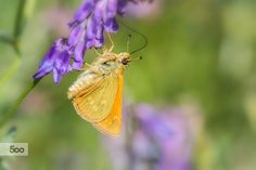 Photograph Lulworth skipper by Jivko Nakev on 500px