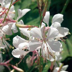 Proven Winners - Stratosphere™ White - Butterfly Flower - Gaura lindheimeri white plant details, information and resources. White Butterfly, Butterfly Flowers, Colorful Flowers, White Flowers, Flowers Garden, Butterflies, Gaura Plant, Garden Solutions, White Plants