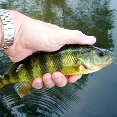 Yellow Perch fishing tips