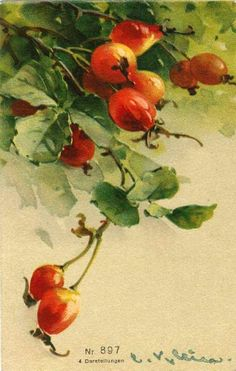 - Photo de Les roses de C. Klein (peintre) (Cartes postales anciennes) - Mon jardin de roses anciennes Watercolor Fruit, Fruit Painting, China Painting, Watercolor Flowers, Watercolor Paintings, Watercolour, Catherine Klein, Vintage Flower Prints, Vintage Flowers
