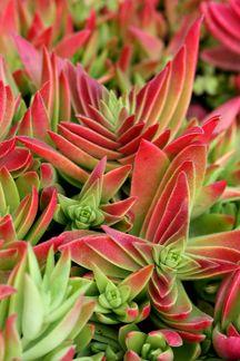 Crassula capitella ssp. thyrsiflora | Crassula corymbulosa | Red Pagoda Crassula | Shark's Tooth Crassula| plant lust