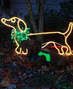 how to make this outdoor adorable Christmas light dachshund Mini Dachshund, Christmas Dachshund, Daschund, Weenie Dogs, Doggies, Noel Christmas, Christmas Lights, Christmas Decor, Dog Life