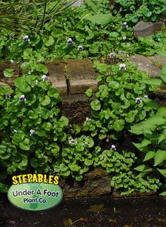 Plants that tolerate foot traffic Small Courtyards, Sand Pit, Ground Cover Plants, Old Wall, Low Maintenance Garden, Back Gardens, Pond, Lush, Courtyard Ideas