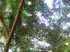 Beautiful (adelgid free) hemlock trees