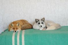 foxes make pets? my corgi looks like a fox. Beautiful Creatures, Animals Beautiful, Cute Animals, Wild Animals, Fennec, Bff, Unusual Animals, Unusual Pets, Foxes