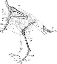 Skeleton of the Limbs and Tail of a Carinate Bird Bird Clipart, Scapula, Bird Wings, Granada, Skeleton, Anatomy, Evans, Clip Art, Birds