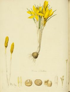 "lucienballard:  Crocus Stellaris. A. H. Haworth. February 7, 1809 page 138, 18.3 x 8.5 cm. From, ""On the Cultivation of Crocuses, with a short account of the different species known at present.    Source:  Rochester Institute of Technology."