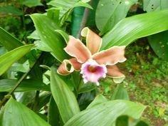 Orquídea de Cerro Azul Panamá Franklin Espino H.