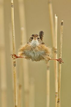 Ever have one of those days?  Marsh wren by Roger Eriksson, via Audubon Magazine