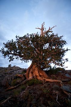 Methuselah, one of the oldest trees on Earth (almost 5000 years). Visit it at the Inyo National Forest in California.