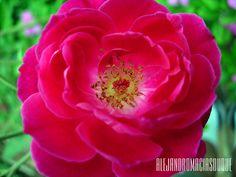 Una Rosa,Representa la belleza y dulzura de nuestras bellas mujeres antioqueñas.