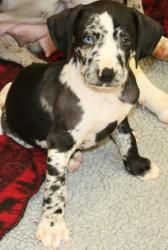 Jake is an adoptable Catahoula Leopard Dog Dog in Hewitt, TX.  ...