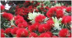 Pohutukawa trees in flower at Christmas Trees, Christmas Tree, Flowers, Plants, Art, Teal Christmas Tree, Art Background, Tree Structure, Kunst