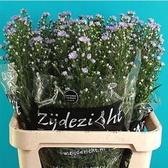 Aster Cassandra(also known as September Flower) is a pale purple filler flower. 80cm tall & wholesaled 25 stems per wrap.